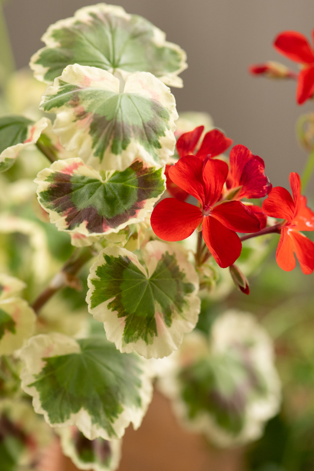 Miss Burdet-Coutts pelargoni