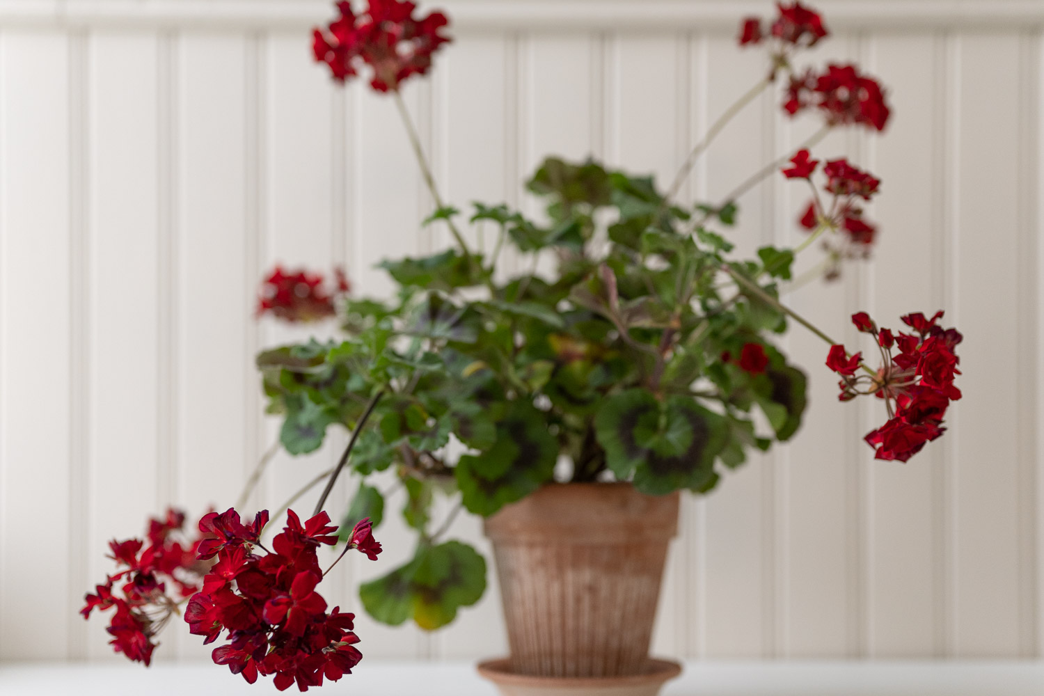 Moonlight Tumbao pelargoni