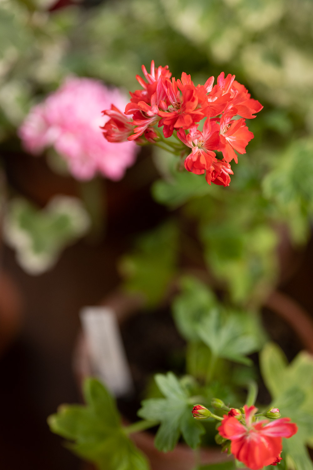 Don Chiverton pelargoni