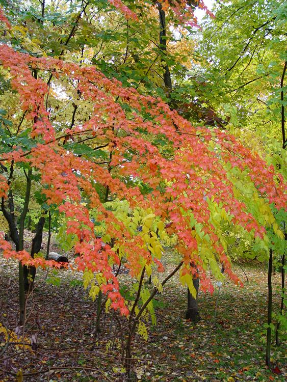acer-micranthum-mamasgarden