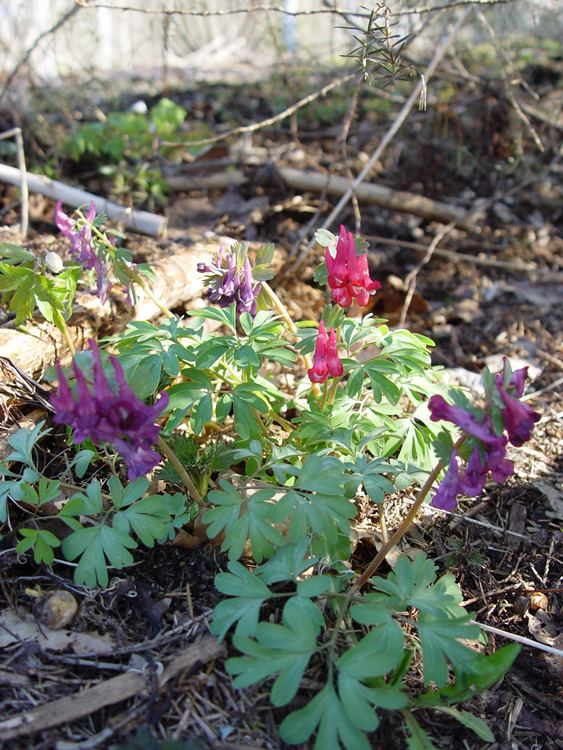 corydalis-mix-mamasgarden