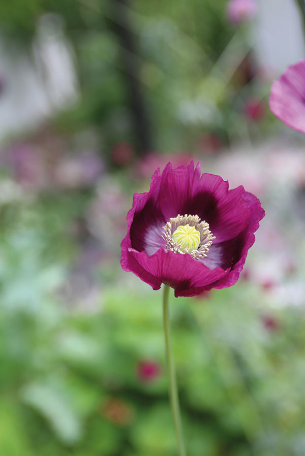 Oopiumunikko-papaver-laurens-grape–MSt
